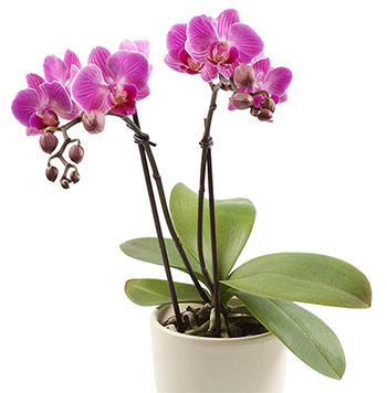 Orchids used for good luck